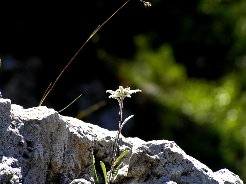 edelweiss26.jpg